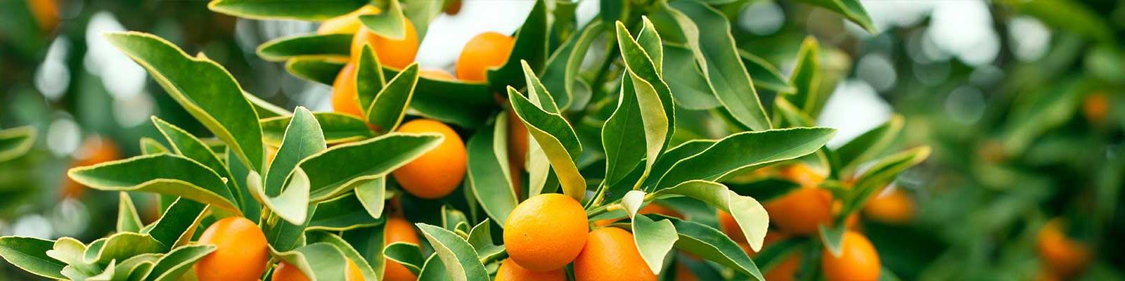 Produzione Piante Da Frutto : Coltivazione produzione alberi da frutto piante