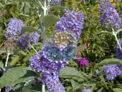 BUDDLEIA DAVIDII EMPIRE BLUE