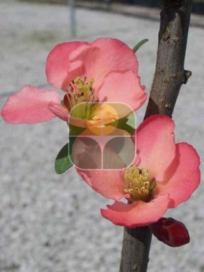 CHAENOMELES JAPONICA GRAND ROSEA